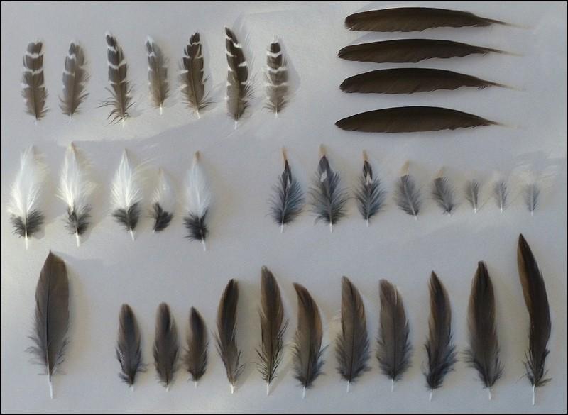 Identification restes d 39 oiseau r le d 39 eau identifi - Signification des plumes d oiseaux ...