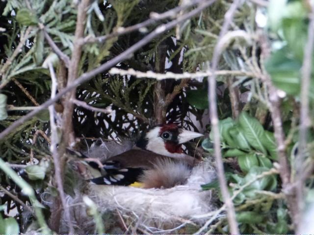Elevage d\'oiseaux indig�nes