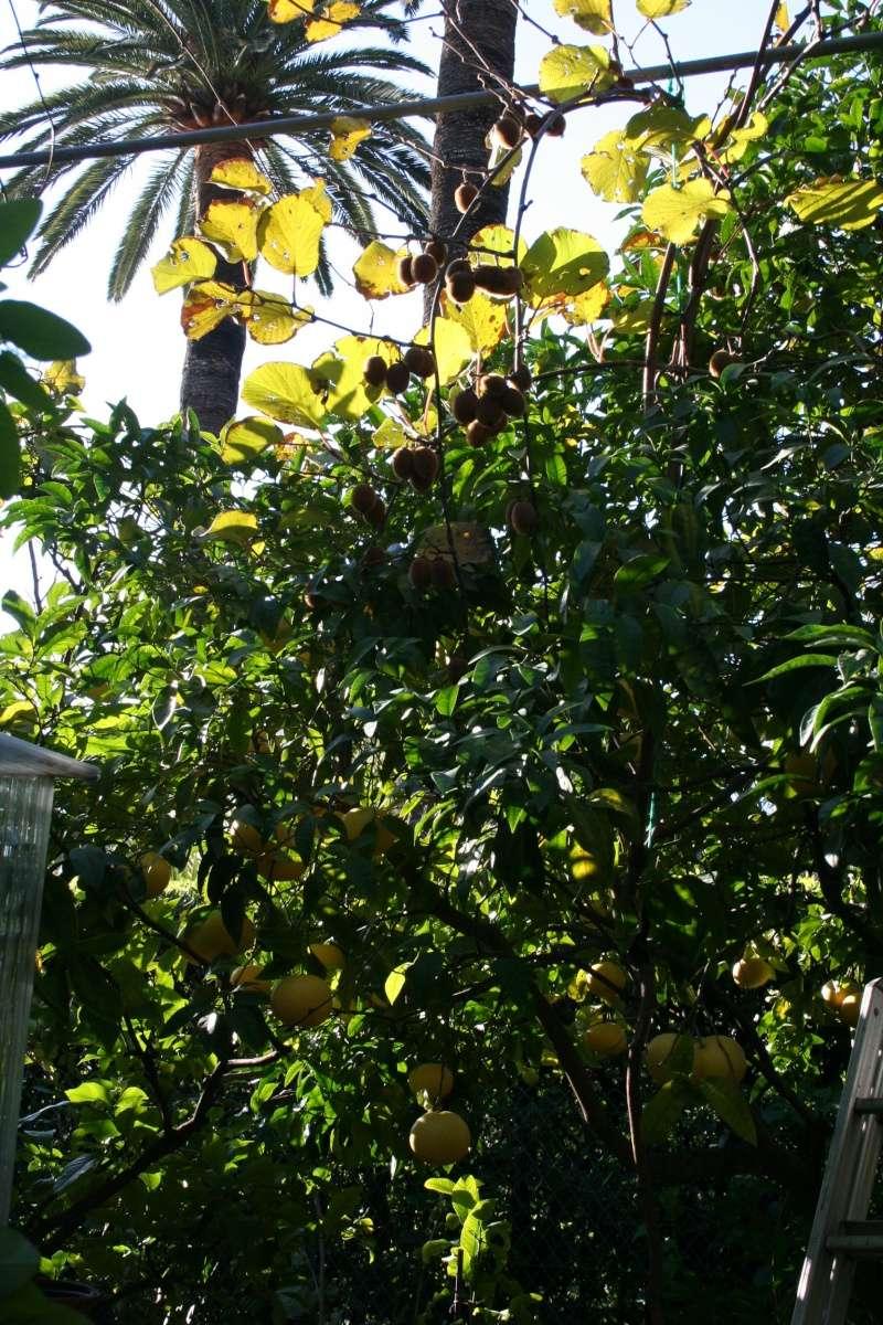 faire grimper kiwi dans vieux citronnier - au jardin, forum de jardinage