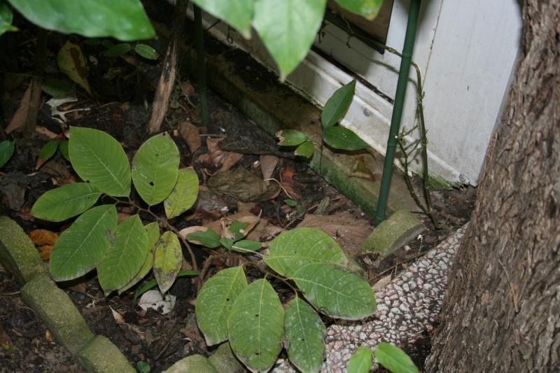 Comment faire germer un noyaux de litchee au jardin forum de jardinage - Planter un noyau de litchi ...