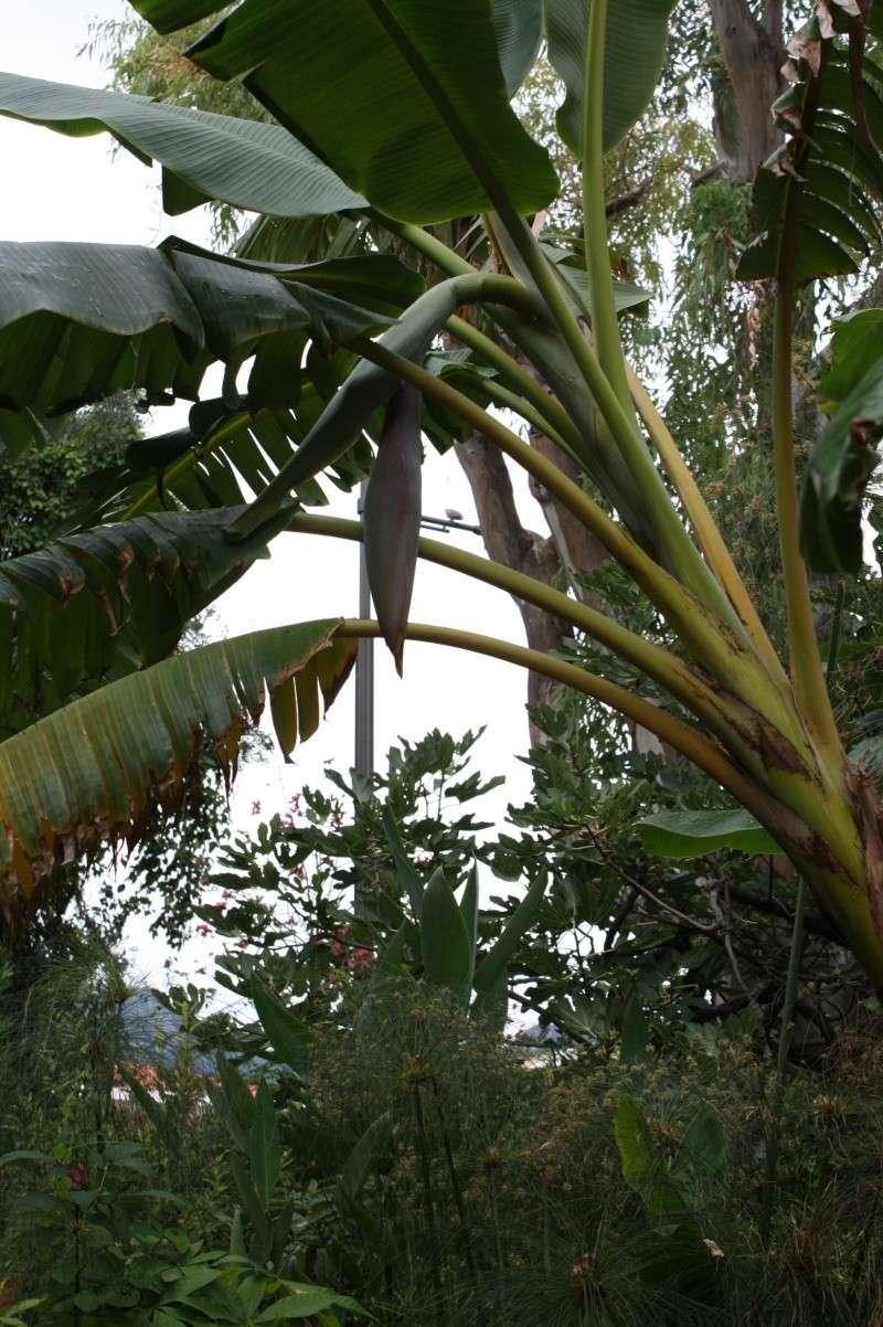Bananier enfin ce n 39 est pas trop t t au jardin for Cote hors gel