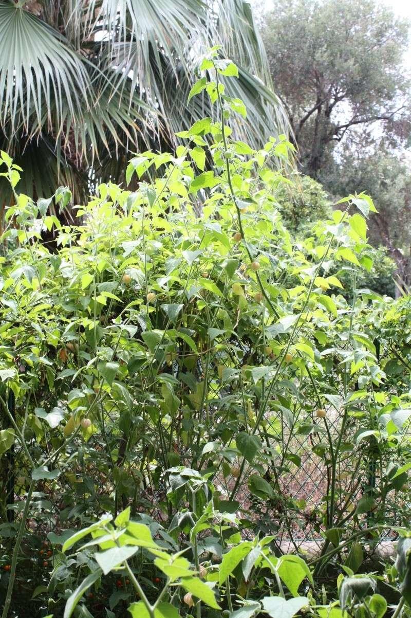 Recolte de physalis ou coqueret au jardin forum de for Cote hors gel