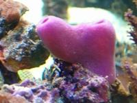 EPONGE(rose)les éponges arrivent souvent avec les pierres vivantes
