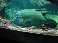 poisson napoléon