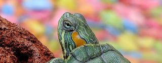 Itinéraire d'une espèce invasive, par Robin Parady