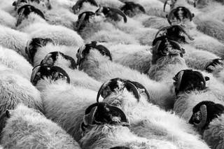 Que faire dans un troupeau, par Robin Parady