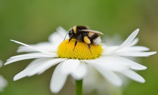 le déclin des abeilles, article par Robin Parady