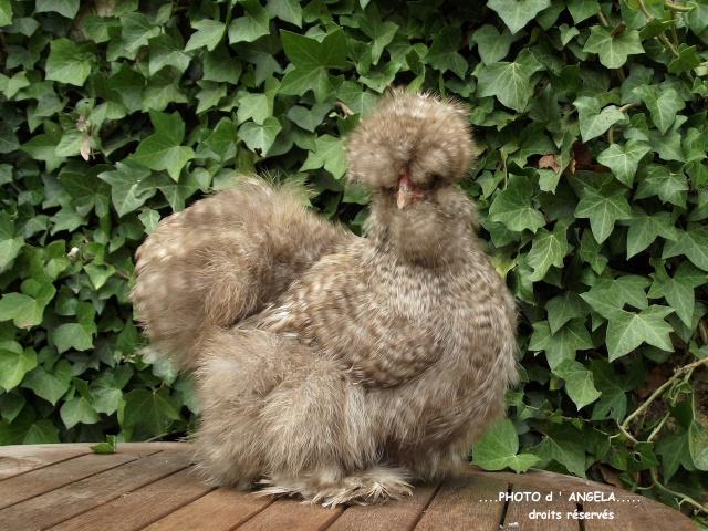 poule soie gr