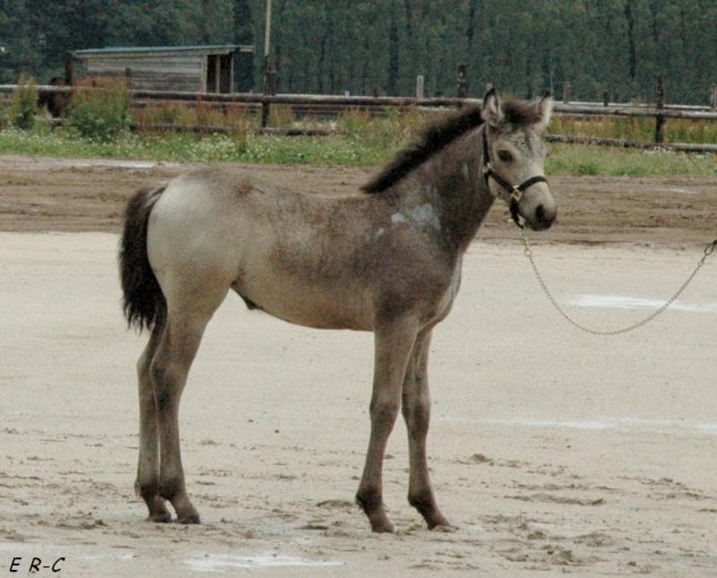 EIRE DE BREGEON (Poetic Justice x Tinker Bell du Gite par Ice and Fire d'Albran) 1ère des Foals Femelles