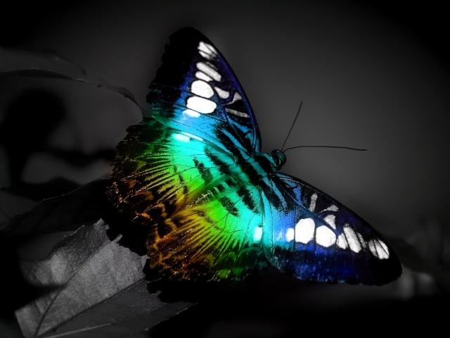 borboleta de parede