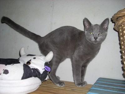 Havane chaton de 5 mois chartreux a la fourriere 40 landes - Couper les griffes d un chaton de 2 mois ...