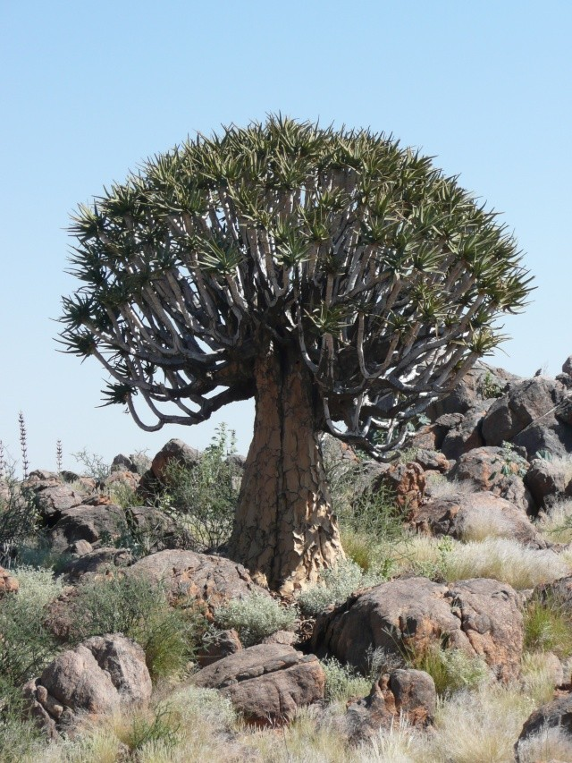 Succulentes d'Afrique du Sud - forums plantes exotiques