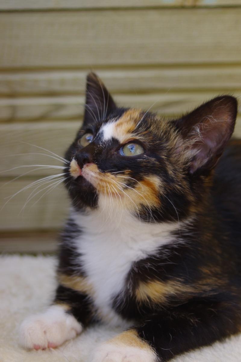 Esperanza magnifique chaton tricolore joueuse l 39 adoption ecole du chat quiberon - Le bon coin arbre a chat ...