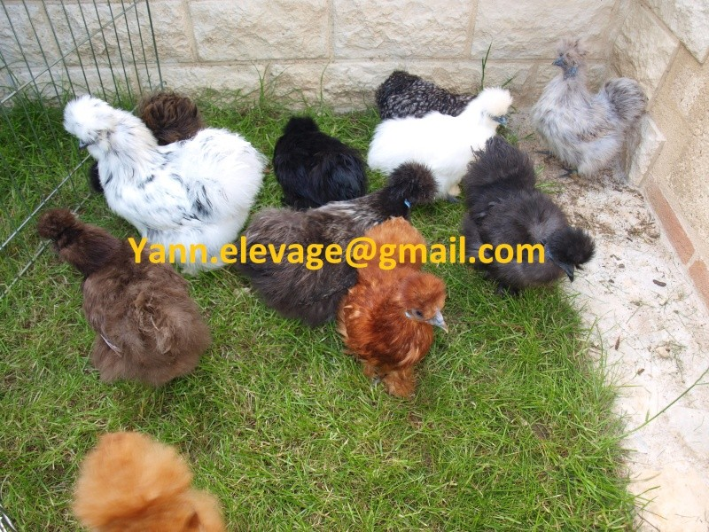 poule soie elevage