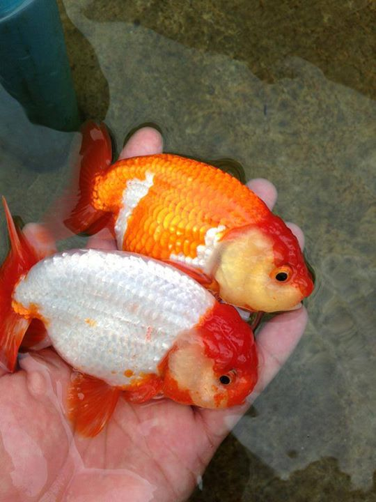 Goldfish de criaderos asiaticos for Criadero de peces goldfish