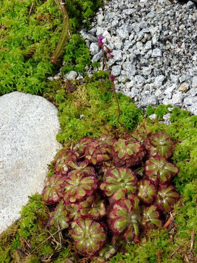 Photo de plante carnivore drosera admirabilis chris for Plante 42 chris