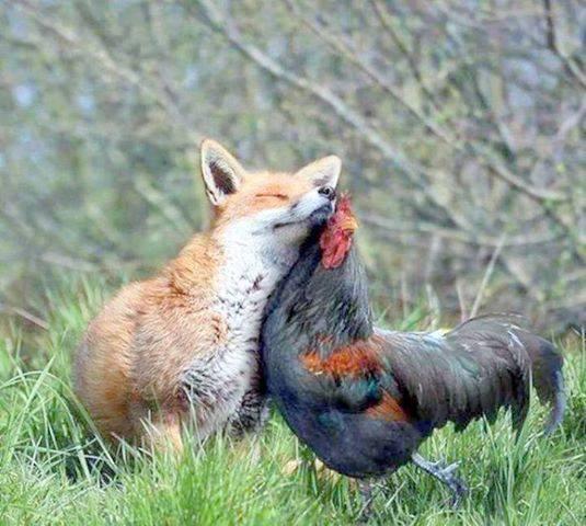 poulailler renard