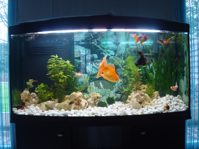 300l poissons japonais for Aquarium 1 poisson
