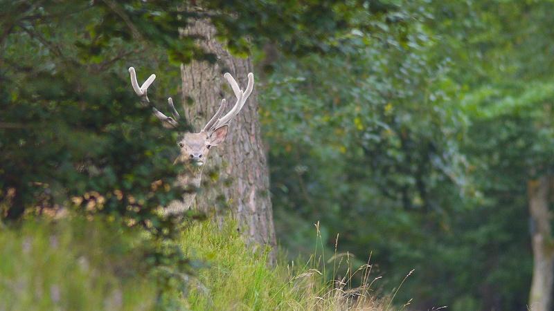 Cerfs en velours aux grands feuillards