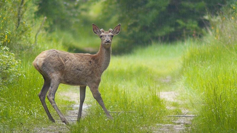 Hère, biches, sangliers et cerf blessé...