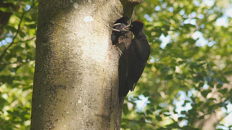 pic noir en foret de Fontainebleau
