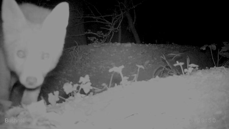 Renards et blaireaux dans le même terrier au video piège...