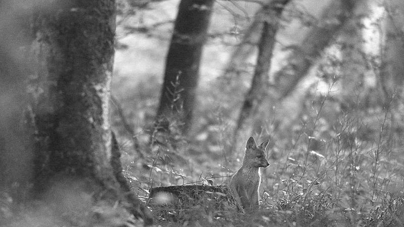 Renardeaux : ambiance forestière en noir et blanc...
