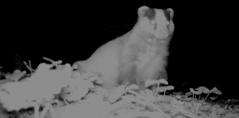 videopiège : renard et blaireau au même terrier