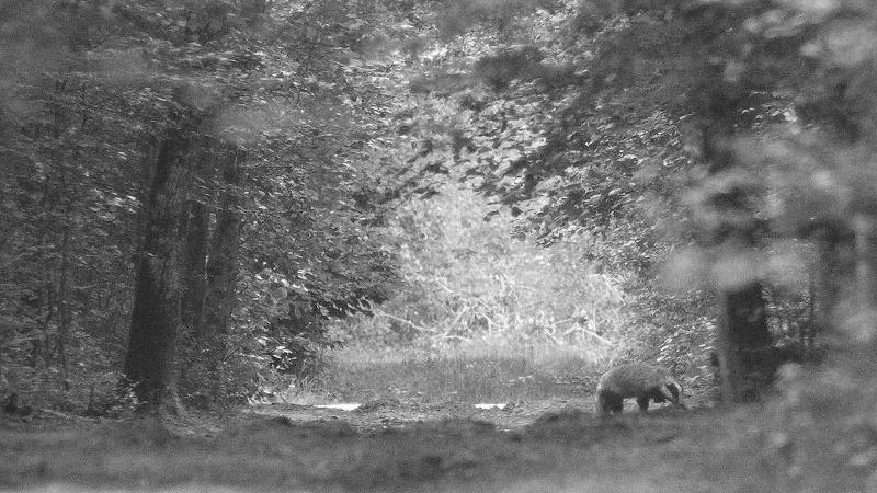 Blaireau : ambiance forestière...
