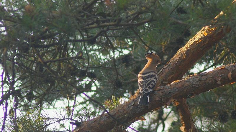 Huppe en forêt de Fontainebleau