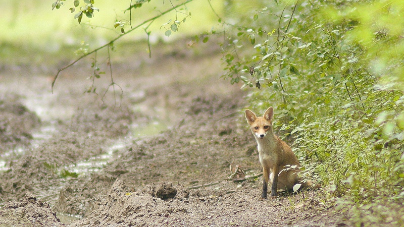 Biche et renards...