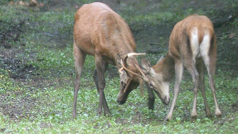 mi-aout : entrainement au combat chez les cerfs... Les photos