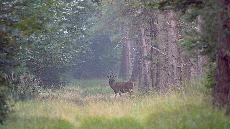 Brame 2014 en foret de Fontainebleau