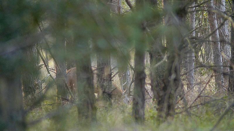 Les cerfs recherchent les biches...