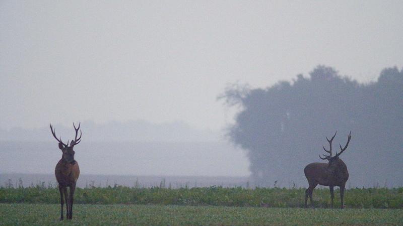 Brame à Fontainebleau : les grands cerfs sont de sortie !