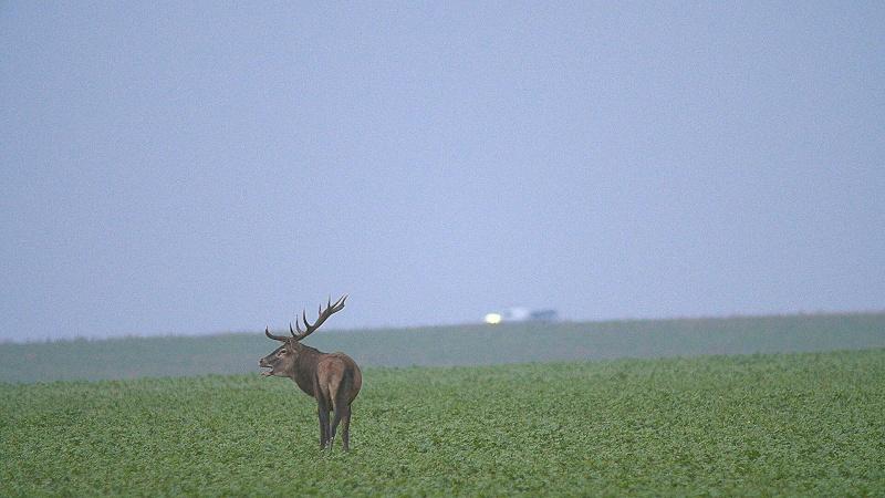 Brame dans les champs