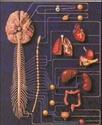 منتدى دكتور خالد أبو الفضل لمحاضرات فسيولوجيا الجهاز العصبى الاارادى Autonomic nervous system