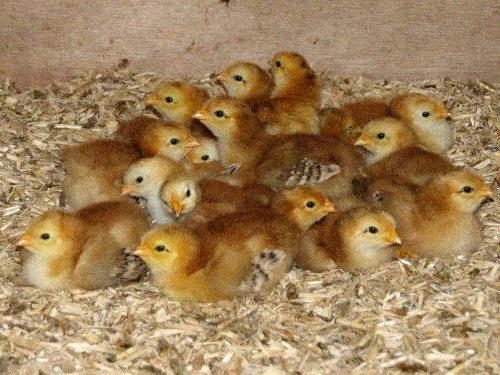 La poule rhode island becs et plumes for Bien nourrir ses poules