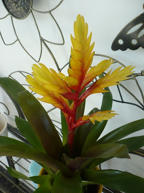 plante exotique bromelia