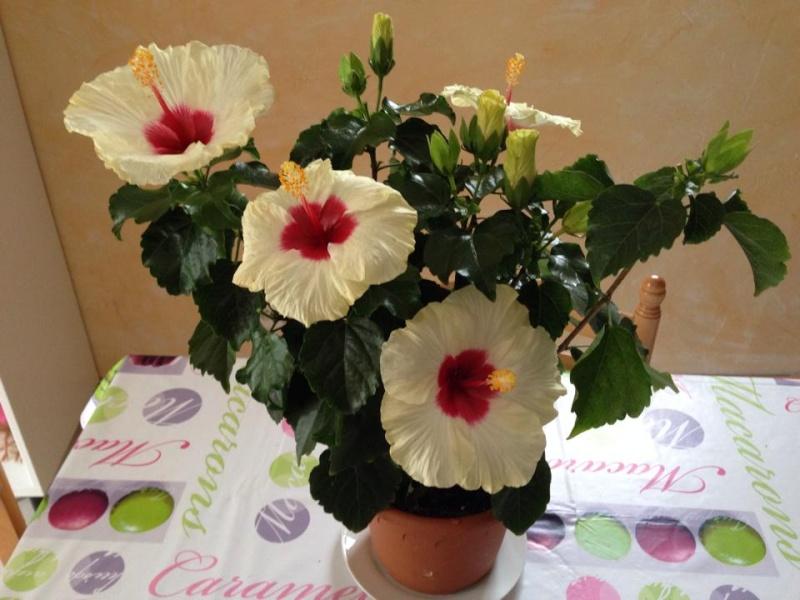 aide entretien d 39 un hibisqs longiflora. Black Bedroom Furniture Sets. Home Design Ideas