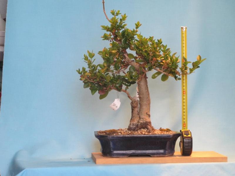 Vendo algunos bonsais prebonsais y plantones for Bonsai vendo