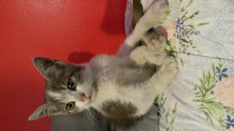 Jordy chaton tigr gris et blanc 2 mois m - Couper les griffes d un chaton de 2 mois ...