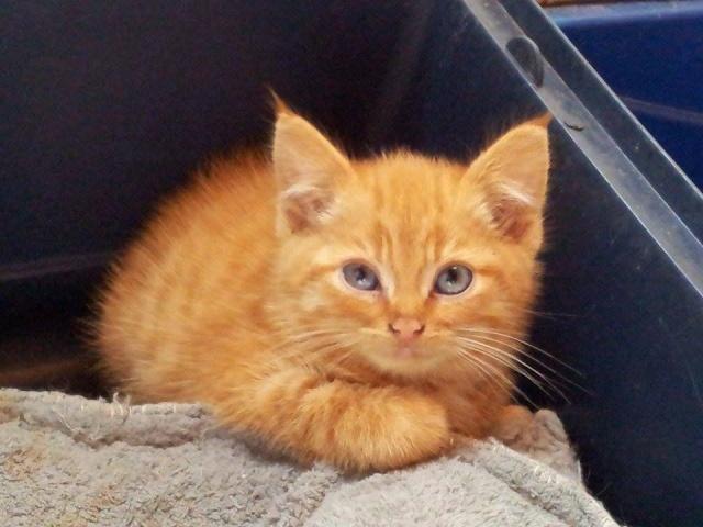 Pour que votre chat ait le poil doux et brillant, regardez les brosses pas  cher ici Chatons roux à donner