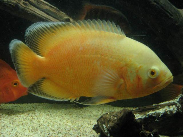 lemon oscar fish - photo #17