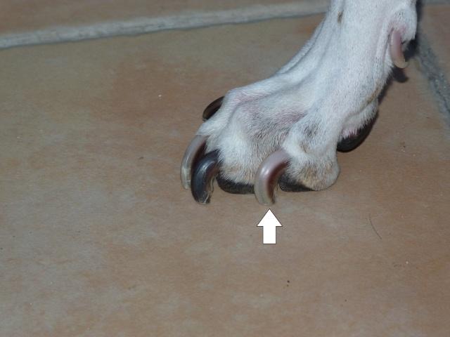 Couper les ongles de son chien page 2 - Comment couper les griffes des chiens ...