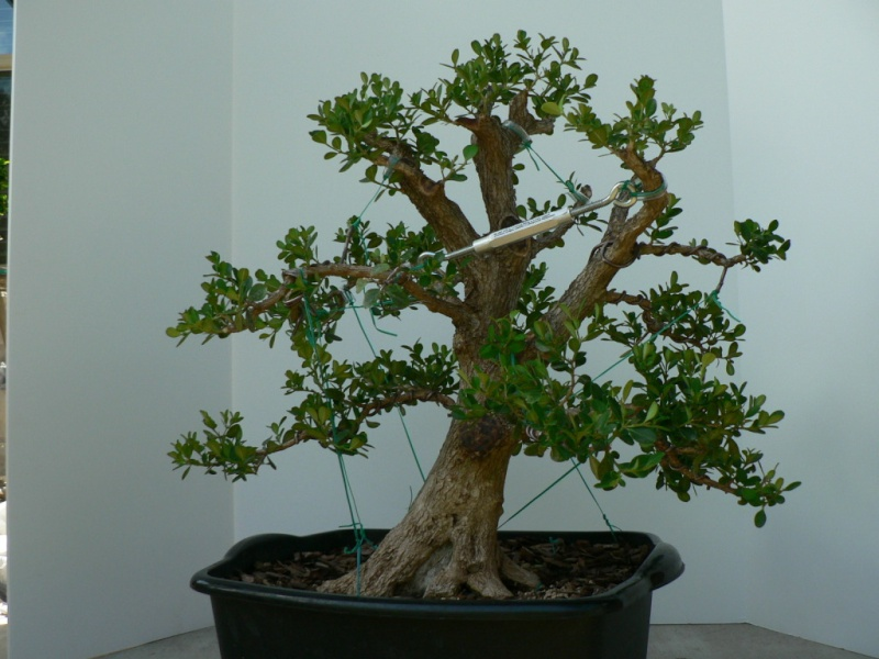 Collected boxwood