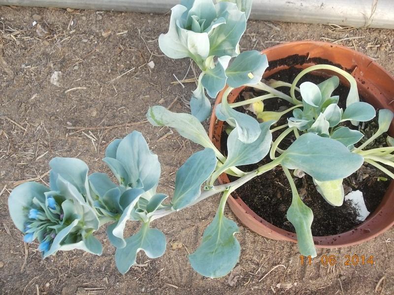 Qui connait la mertensia maritima plante huitre page 4 for Plante huitre