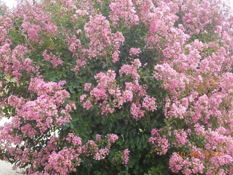 Bouturer le lilas des indes lagestroemia page 3 - Le lilas des indes ...