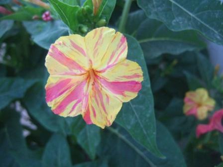 Mirabilis jalapa belle de nuit - Belle de nuit plante ...