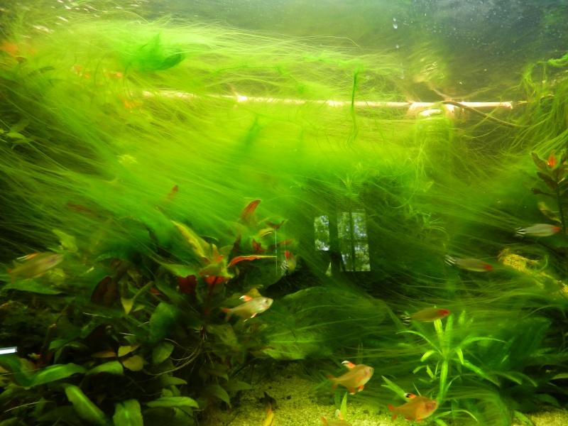 aquarium eau douce algues filamenteuses